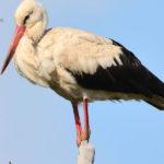 White Stork Birds image