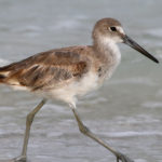 Galapagos Willet Bird image