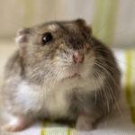 Winter White Russian Hamster image