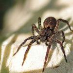 Wolf Spider image