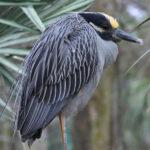 Galapagos Yellow-Crowned Night Heron image