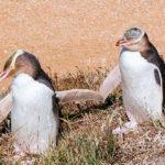 Yellow-eyed Penguin image