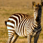 Zebras image